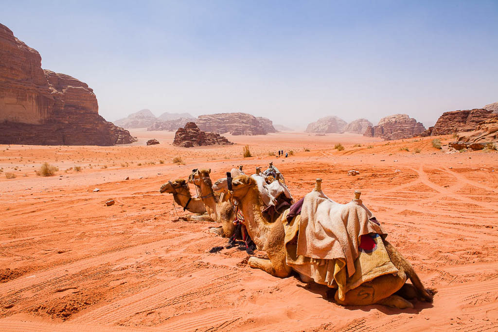 3 camels with saddles in Wadi Rum desert