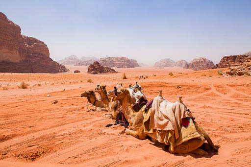 3 camels with saddles waiting in Wadi Rum desert