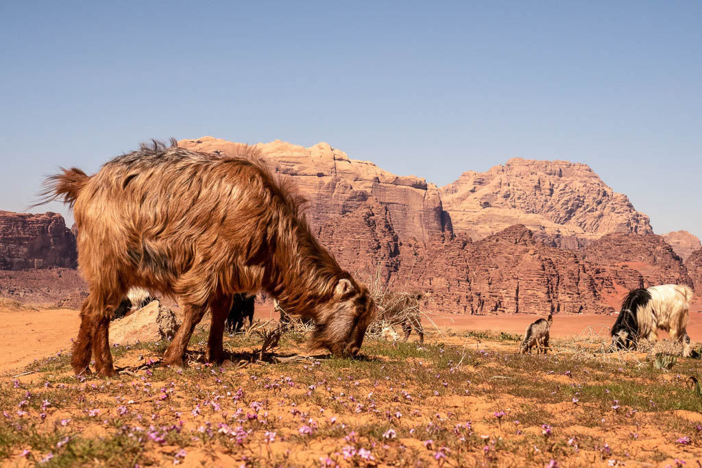 goats graze of spring wild flowers in front of red desert cliffs of Wadi Rum