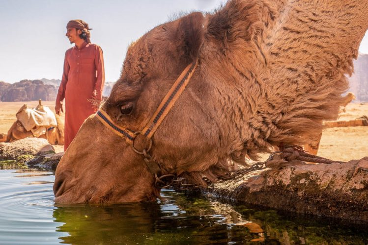 camel drinking at lawrence spring wadi rum with bedouin