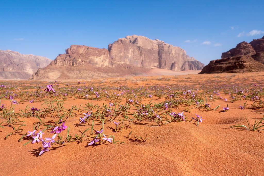 spring flowers wadi rum desert with sandstone cliffs