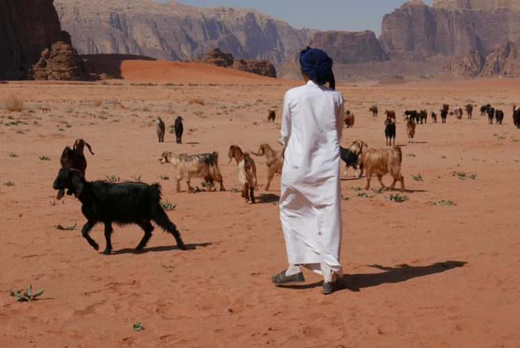bedouin herding goats with red sand and high cliffs in Wadi Rum desert